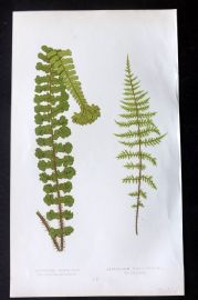 Lowe 1862 Antique Fern Print. Aspidium Filix-Mas 55
